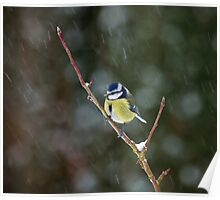 Blue Tit in Snow Poster