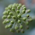 Ivy Flower Buds by marens