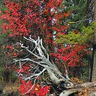 Scarlet Autumn by © Betty E Duncan ~ Blue Mountain Blessings Photography
