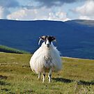 Sheep on the Comeragh Mountains Ireland by ragsers