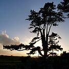 Sunset Pine by mikebov