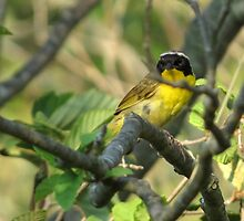 Common Yellowthroat by Jason  King