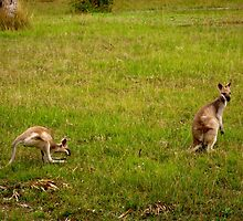 Wallabies by Aimée Becker