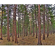 ponderosa trail Photographic Print