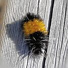 Banded Woolly Bear  by Don Siebel