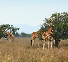 Rothschild's Giraffes Feeding, Lake nakuru, Kenya by Carole-Anne