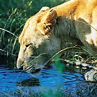 Lion Drinking by Richard Davis