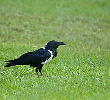 Pied Crow by Sue Robinson