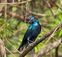 Lesser Blue-eared Glossy Starling by Sue Robinson