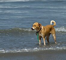 Dog Standing in Shallow Waves by Sue Robinson