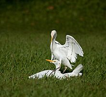 Cattle Egrets Fighting by Sue Robinson