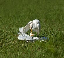 Cattle Egret Attack by Sue Robinson