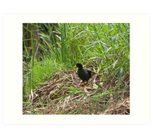 Black Crake in Rice Field Art Print