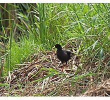 Black Crake in Rice Field Photographic Print