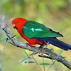 Male King Parrot At Cedar Creek. Qld, Australia.  by Ralph de Zilva