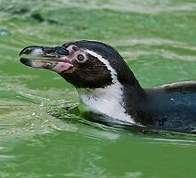 Humboldt Penguin  by Vac1
