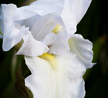 White Iris #3 by Elaine Teague