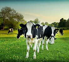 Cow lomo No.5 by Paul Davis