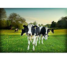 Cow lomo No.5 Photographic Print
