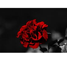 Selective Colouring - Red Rose Photographic Print
