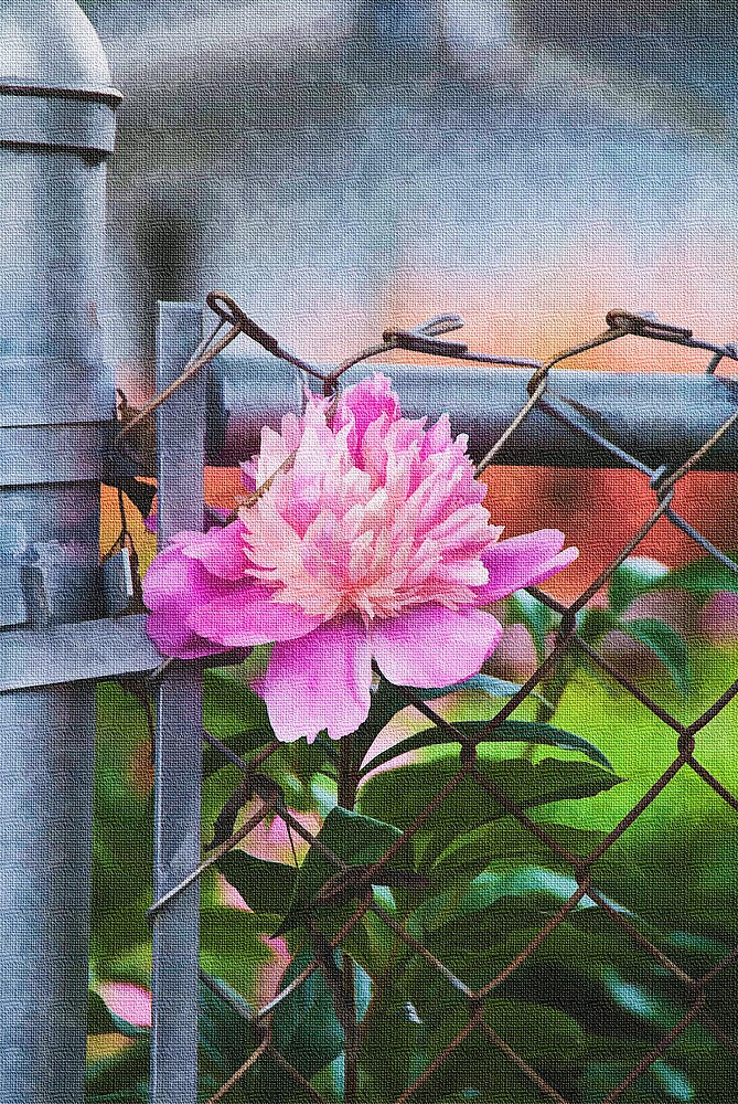Pink Peony by Joy  Rector