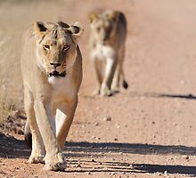 Lioness by jeff97