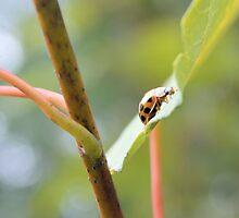 Ladybug by ©Dawne M. Dunton