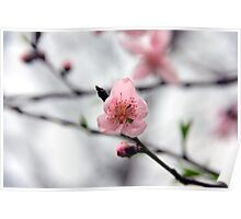 Light Pink Peach Blossom Poster