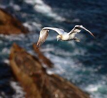 Northern Gannet in flight by Grant Glendinning