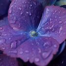 Hydrangea close-up by kostolany244
