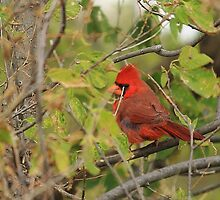 Northern Cardinal in the Cottonwood Tree by Galen Obermeyer