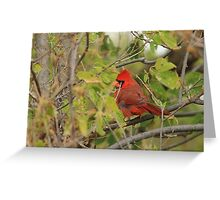 Northern Cardinal in the Cottonwood Tree Greeting Card