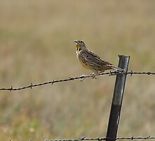Kansas Meadowlark perched on the Barbwire Fence by Galen Obermeyer