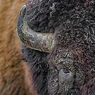 Bison up close by Daniel  Parent