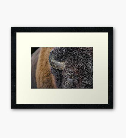 Bison up close Framed Print