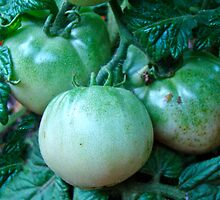 Green Tomatoes on the Vine by MotherNature