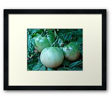 Green Tomatoes on the Vine Framed Print