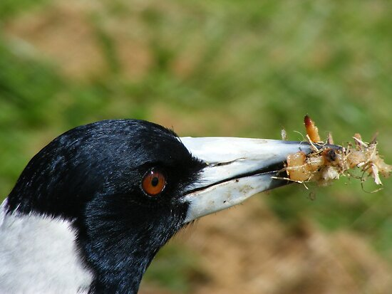 Magpie Bird by Russell Voigt