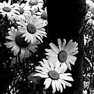 Daisies By The Tree by Jane Neill-Hancock