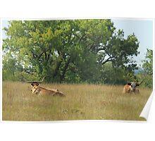 Texas Longhorn Cattle Poster