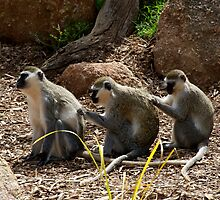 Vervet Monkeys - You Scratch My Back... by GP1746