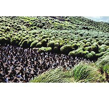 Royal Penguin Colony on Macquarie Island Photographic Print