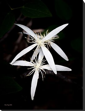 Clematis pubescens by Elaine Teague