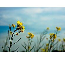 Mustard Flowers Photographic Print
