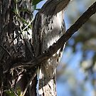 The Tawny Frogmouth by robmac