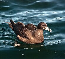 White Chinned Petrel by Anna Phillips