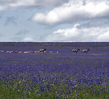 Zebras in purple field by Anna Phillips
