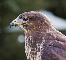 Buzzard by Country  Pursuits