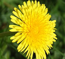 Dandelion by ChrisCopley