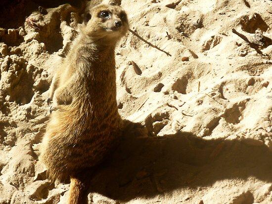 Compare the Meerkat! by debzandbex